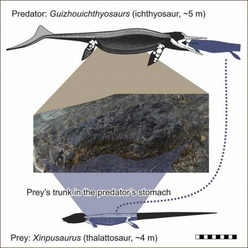 В желудке окаменелого ихтиозавра обнаружили еще одну рептилию
