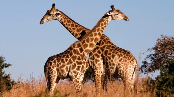 Интересный факт дня: Жирафам угрожают молнии