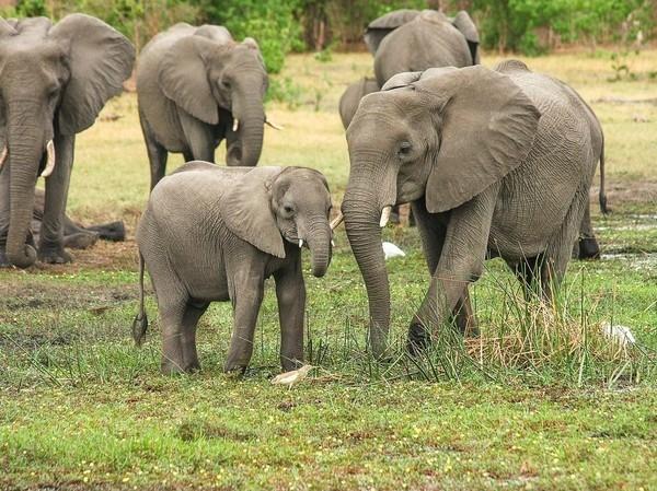 В Африке погибли более 300 слонов: Виноваты водоросли