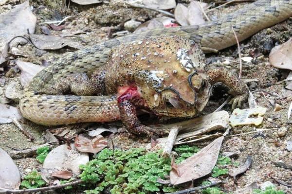 Впервые обнаружены змеи-потрошители
