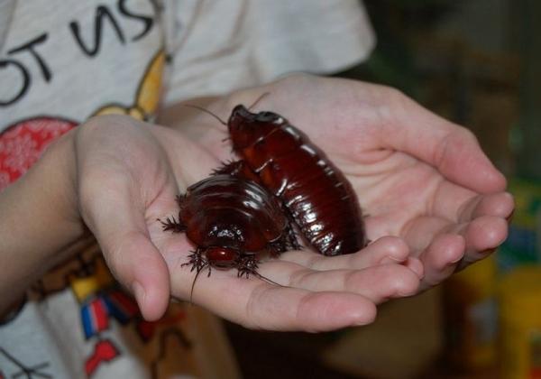 Самые большие среди насекомых в мире